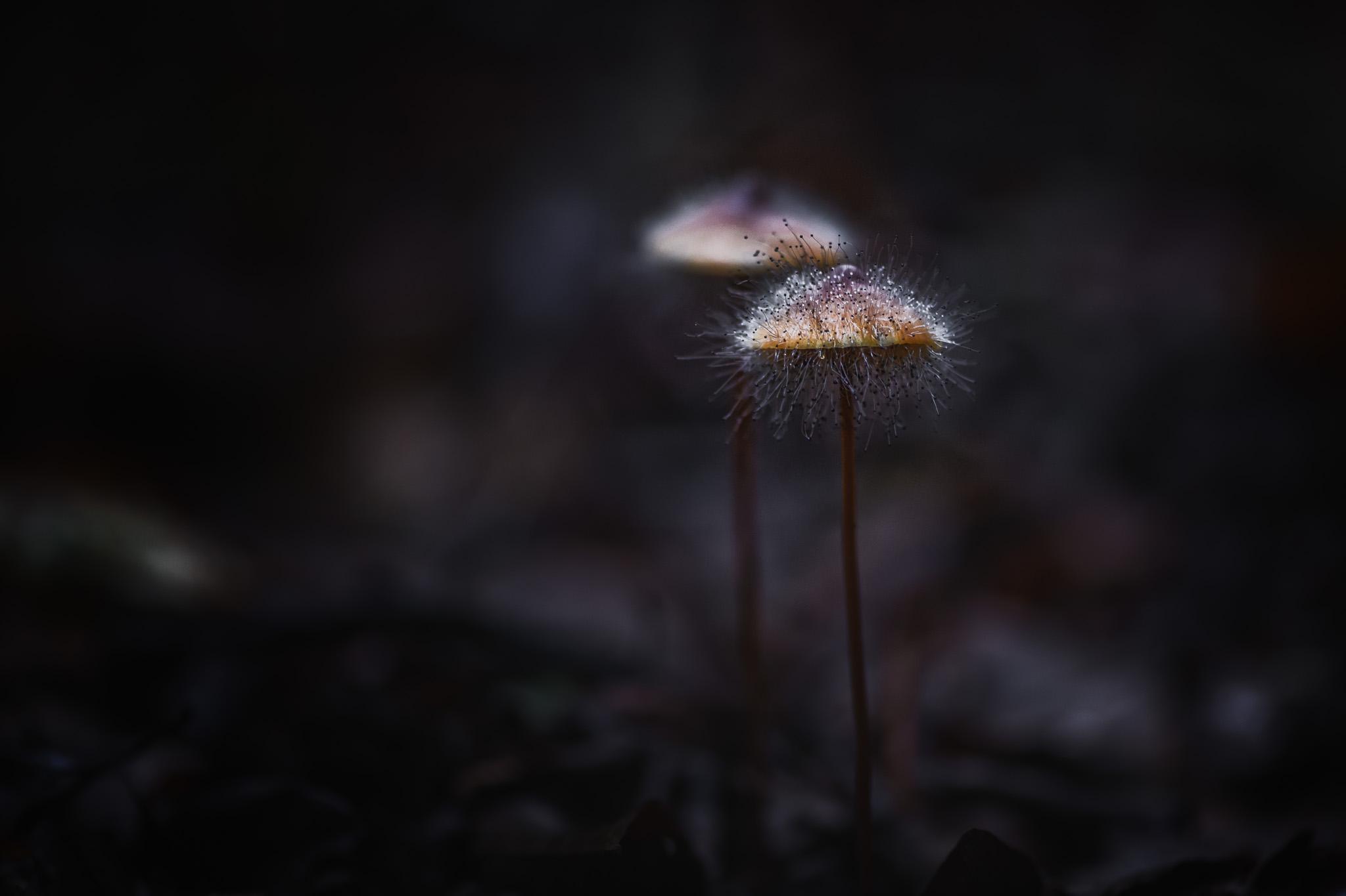 Les champignons poilus de la forêt de Soignes par Marc Feron
