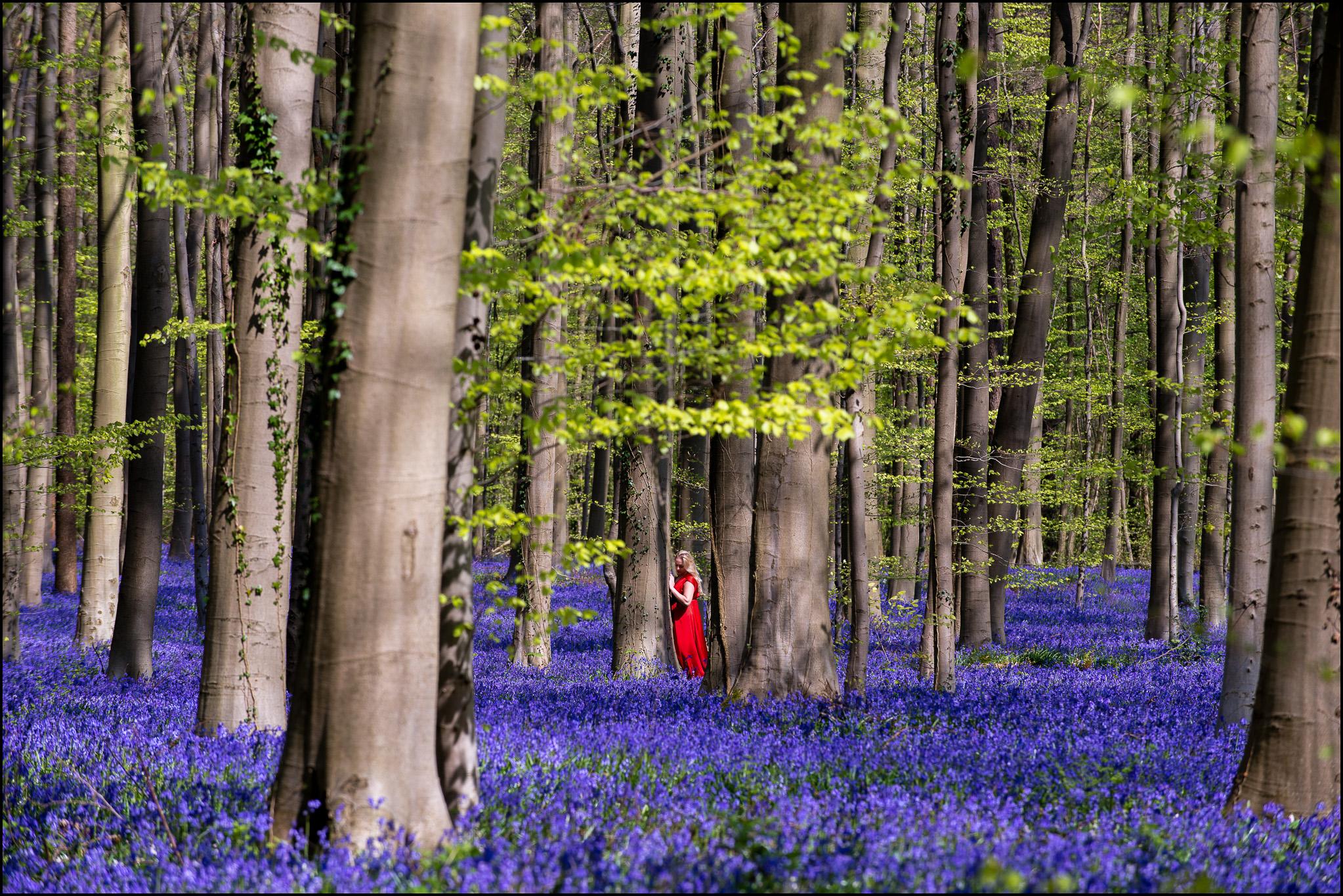Les jacinthes du bois de Halle et Chaperon rouge